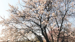 Cherry blossoms and Dongbuk Gongsimdon Live Action