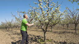 Farmer checking the trees in the orchard Footage