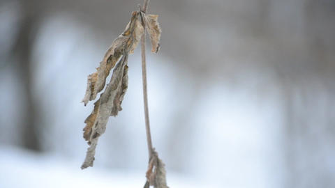 Old dry brown nettle leaf stirred by wind in winter Footage