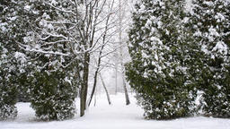 Snowing on green thuja trees background Footage