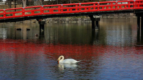 Swan on the pond near the ancient Matsumoto Crow Castle Footage