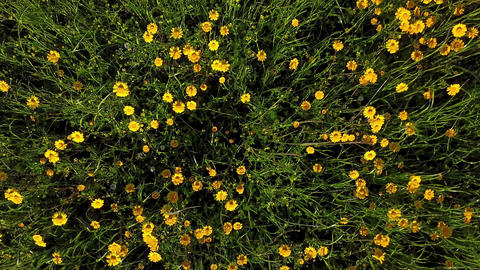 Yellow daisies field Footage