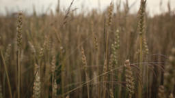 close up of wheat Footage