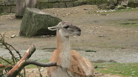 Guanaco (Lama guanicoe) is a native to South America Live Action