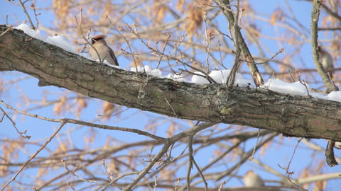 Waxwing eat snow. Flock of birds Bohemian waxwing, Bombycilla garrulus at winter Footage