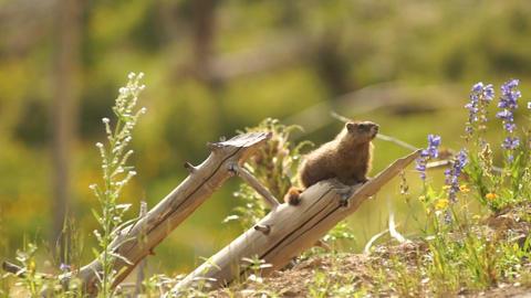 An Elusive Marmot Sitting on Log Windy Day Near Den Filmmaterial