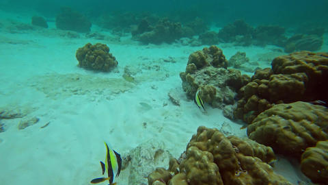 Pennant Coralfish in Andaman Sea Footage