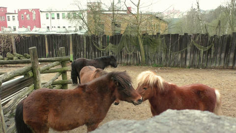 Two small brown pony's playing with each other Live Action