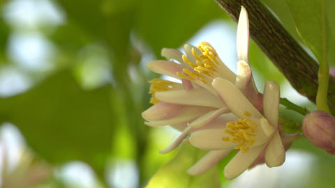Lemon tree blossom Footage