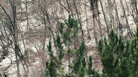 Green Trees in a Snowy Forrest Footage