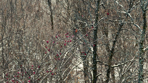Red Berries on a Cold Winter Tree Footage