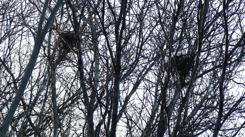 Snow Covered Birds Nests in the Trees Footage