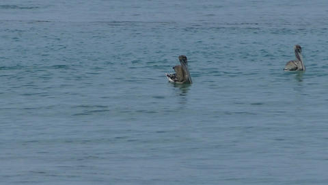 Pelicans relaxing in Pacific ocean Footage