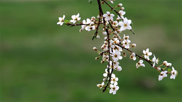 Wild apple branch with white flowers 1 Footage