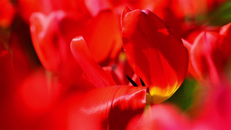 Detail Of A Red Tulip Field In The Garden Of A House stock footage
