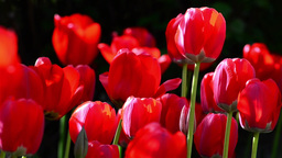 Field red tulips in the garden of a house 1 Footage