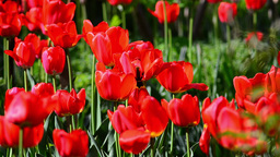 Field red tulips in the garden of a house 3 Footage