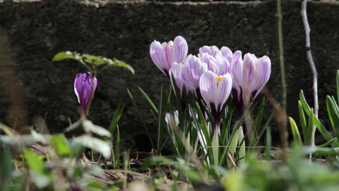 Crocuses white with purple in a garden in a cold spring morning. A lot of bees f Footage