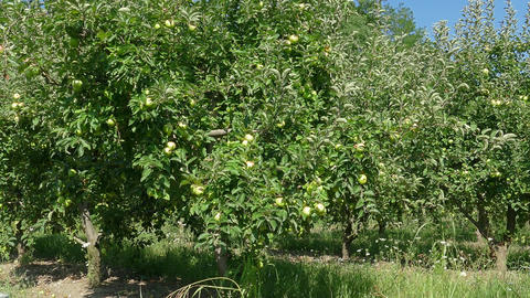 Apple tree on farm at summer Footage