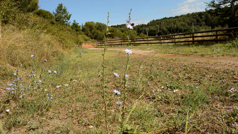 Chicory Flower in Mountain Woods Park Path Footage