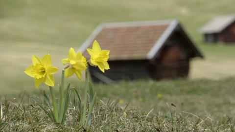 Yellow Narcissus Flowers blown in the wind in front of the house Footage