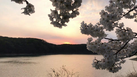 Evening glow and cherry blossoms A Footage