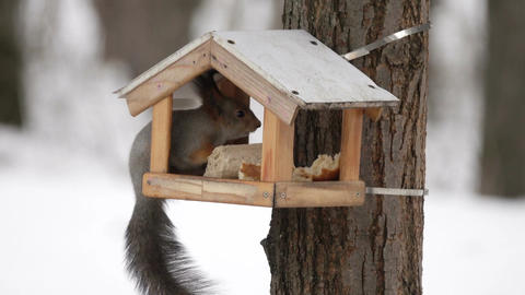 Squirrel feed in the bird feeder in winter Footage