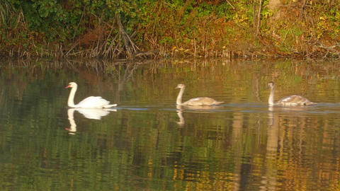 Family of white swans swims along autumn lake Footage
