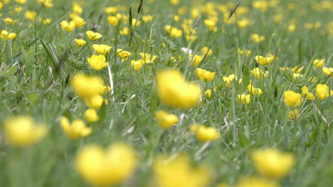 Yellow flowers field swaying in the wind Footage