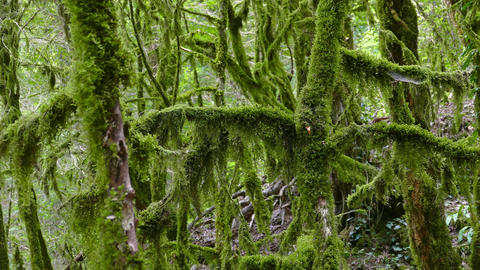 Moss-covered trees in boxwood grove Caucasus Footage