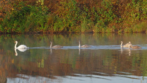 Family of white swans swims along autumn lake Footage