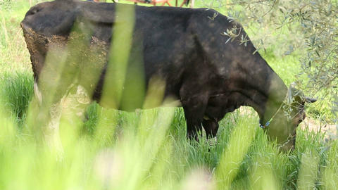 Black Free Range Cow eating Grasses Footage