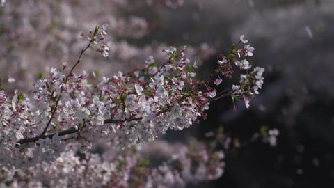Falling cherry blossom, sakura ビデオ