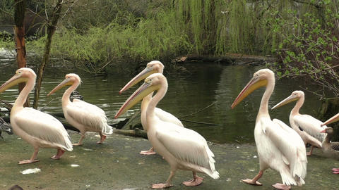 Flock of white pelicans on the lake Footage