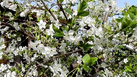 Bee pollinating flower of the cherry