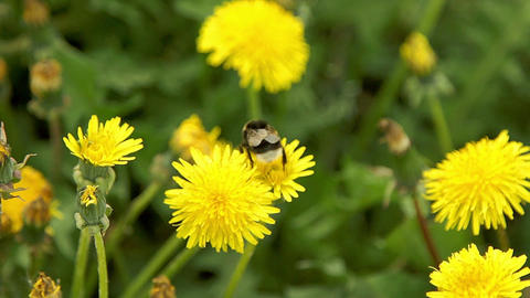 Two bumblebee pollinate a dandelions Live Action