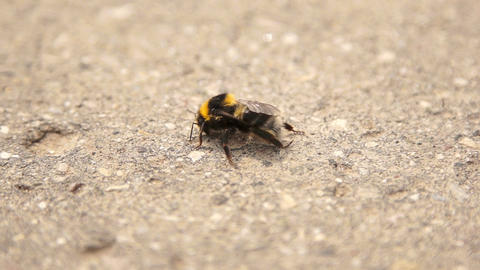 Infected bumble bee dying at the road Footage