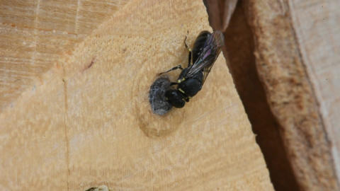 """Wild solitary bee """"Common Yellow-Face"""" Hylaeus communis on insect hotel closing  Filmmaterial"""
