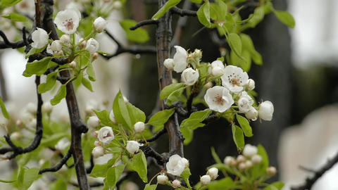 Wet Snow Falling On The Pear Tree Bloom In Spring Footage