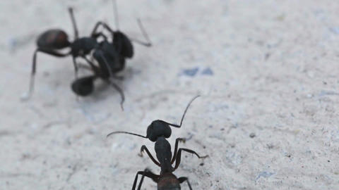 Ants II Stock Video Footage