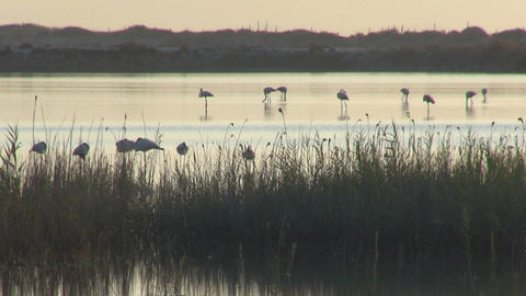 Flock of flamingos at dawn Stock Video Footage