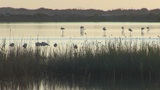 Flock Of Flamingos At Dawn stock footage