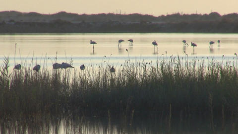 Flock of flamingos at dawn Live Action