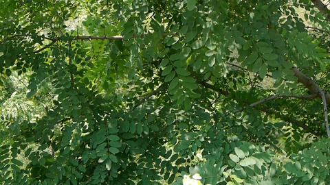 Dense swing Ash tree and wind,tree crown Stock Video Footage