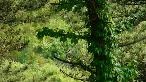 pine trees & Vines,bushes in the wind,Dense swing... Stock Video Footage