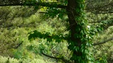 pine trees & Vines,bushes in the wind,Dense swing tree,Hillside weeds &  Footage