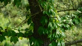 pine trees & Vines,bushes in the wind,Dense swing tree,Hillside weeds &  Footage