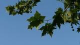 swing plane trees & the Indus leaves,tree crown Footage