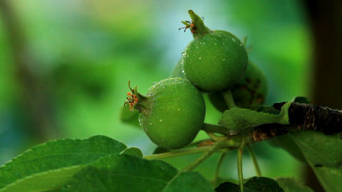 green apples weigh on the branches Stock Video Footage