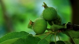 green apples weigh on the branches Footage